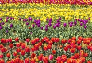 Colorful Tulip Flowers Farm